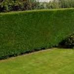 Hedge Cutting Stevenage